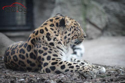 Леопард парализовал работу огромного автозавода (на 2 дня)